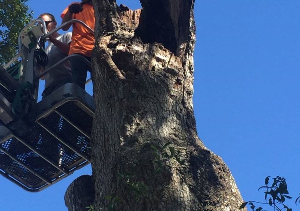 Central Florida Tree Care Company Shares Tree Pruning Tips for Florida Trees